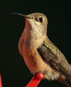 Different species of hummingbirds: Calliope hummingbird Small Birds, Little Birds, Pet Birds, Hummingbird Nests, Hummingbird Garden, Bleeding Heart Flower, Ruby Throated Hummingbird, Bird Feathers, Beautiful Birds