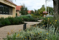 City of Holdfast Bay Civic Centre Garden. Green Gecko Studios designed this garden which displays the indigenous plants of the council area. Plants signs in the garden explain how the plants can be used in home gardens and also show Kaurna plant use.#greengeckostudios #nativegarden #indigenousplants