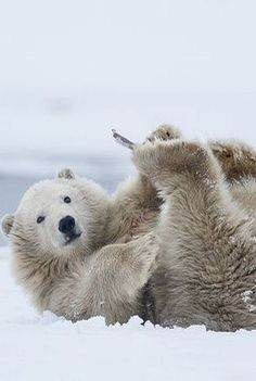 SEE, I can touch my foots!!!--UPSIDE DOWN ;-))) POLAR BEAR Foto von missymandel von Flickr