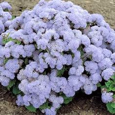 Ageratum - Easy to Grow Mosquito Repelling Plant. Would be perfect since I am crazy allergic to the little pest.