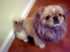 OMFG !!!!!! Pekingese trimmed to resemble a lion -.-