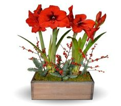 Order that special someone a lovely amaryllis from Dr Delphinium (formerly Gunter's).