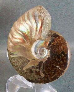Ammonite: Not a shell, it's a fossil! LIke the flooring I'll use in the master bath.