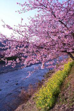 おすすめの桜の名所。本州一早咲きで有名な河津の桜。静岡県賀茂郡河津町 Japon