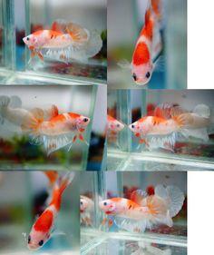 fwbettashmp1391039780 - ***KOI*** Betta Breeding, Siamese Fighting Fish, Betta Fish, Koi, Pets, Animals, Animales, Animaux, Animal
