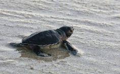 Cyprus Turtle