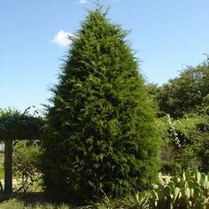 A Fast Growing Durable Evergreen - Eastern Red Cedar Trees reliably grow almost anywhere in the country. They can handle the cold up north and heat in the south. They stand up to a variety of different extreme weather conditions, from ice and snow to heat waves and droughts.  Their thick foliage and large mature height make them...