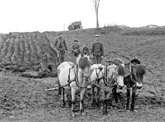 Farm work, Yndestad, Norway, 1916 - 26 Rare and Interesting Vintage Photographs That Capture Everyday Life in Stongfjorden, Norway in the 1910s