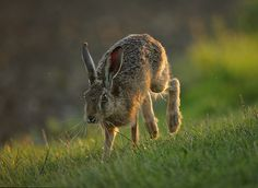 British Wildlife, Wildlife Art, List Of Animals, Cute Animals, Wildlife Photography, Animal Photography, Hare Pictures, Farm Art, Rabbit Art