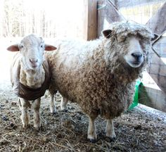 """♥ Shepherdess Tammy White at Wing and A Prayer Farm in Shaftsbury, Vermont blogs:  """"Peter Pan is sweet on Hester, so sweet in fact, that he's been quite unchaperoned at night."""" ♥"""
