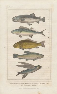 Antique Engraving of Fish, hand colored