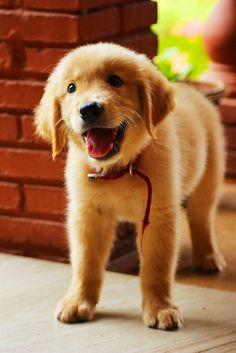 Adorable Golden.