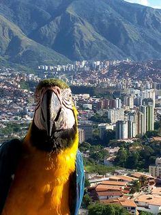 Guacamaya con la ciudad de Caracas de fondo