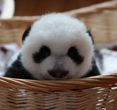 ¡Adorable panda bebé!
