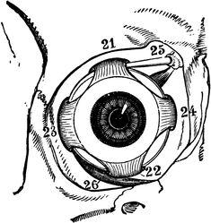 Muscles of the Human Eyeball # eye # anatomy