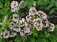 Mountain Laurel – How to Grow and Care for Kalmia Latifolia – GrowIt BuildIT