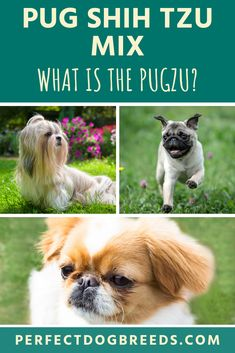 What is a Pug Shih Tzu Mix? Often known as the Pug-Zu, they have taken the world by storm and are a very popular hybrid. The Shihtzu Pug has been bred for companionship and makes an excellent lap warmer. Read on for more. Shih Tzu Poodle, Shih Tzu Mix, Yorkie, Small Mixed Breed Dogs, Pug Zu, Pekinese, The Perfect Dog, Havanese, Bichon Frise