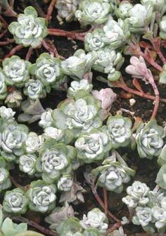 Sedum spathulifolium. Blue-gray sedums may tolerate shade better than others.