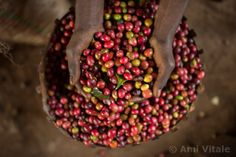 Ami Vitale. Farmers sort the cherries and coffee beans at a small farm in the village of Hafursa, Yirgacheffe, in Ethiopia. Ethiopia is the world's seve...