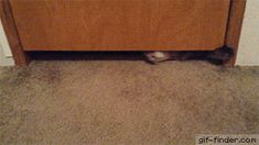 Fat Cute Cat Going Under Door | Gif Finder – Find and Share funny animated gifs