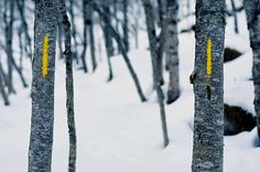 To gule linjer paa bjoerk
