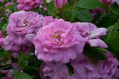 Rose : Kazanlik