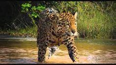 Resultado de imagen para COLOMBIA SALVAJE Jaguar, Fauna, Panther, Youtube, Literature, Tropical, Magic, Film, Google