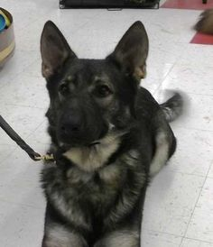 Simply Shepherds Rescue -- Available For Adoption