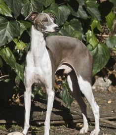 Desktop wallpapers Nice Italian Greyhound dog - photos in high quality and resolution Italian Greyhound Breeders, Miniature Italian Greyhound, Dog Photos, Dog Pictures, Dog Wallpaper, Grey Hound Dog, Aggressive Dog, Whippets, Beautiful Dogs
