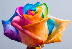 Have you seen a rainbow rose? Learn this stunning diy fun science experiment. How to make rainbow roses. It's a real rose, grown to produce petals in rainbow colors. Diy Flowers, Fresh Flowers, Beautiful Flowers, Pretty Roses, Hippie Flowers, Cheap Flowers, Elegant Flowers, Flower Bouquets, Unique Flowers