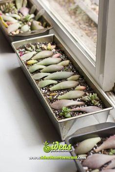 propagacion-reproduccion-esquejes-esquejar-enraizamiento-de-suculentas-cactus-crasas.jpg (736×1104)