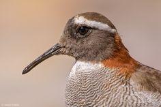 Chorlito Cordillerano. Phegornis mitchellii. Diamed Sandpiper Plover | by Daniel Sziklai G.