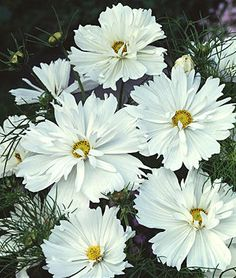 Psyche White Cosmos Seeds and Plants, Annual Flower Garden at Burpee.com