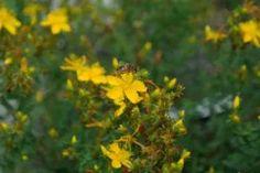 Potřebujete do života více slunce? Třezalka vám pomůže - Blowing Dandelion, Marsh Marigold, Rhododendron, Vida Natural, White Anemone, Simple Minds, Summer Solstice, Water Lilies, Lily Of The Valley