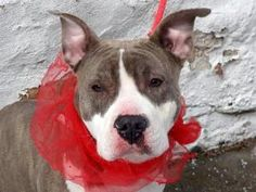 SALLY is an adoptable Pit Bull Terrier Dog in New York, NY. A volunteer writes: I often see Sally with a group of volunteers being used as a teaching tool as she is such a great dog, well behaved, wel...