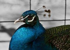 Photo By nayrusfire | Pixabay   #peacock #beautiful #ave #beautyblogger #beautyblog #beautyful #beautycare #beautyaddict