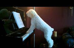 Igazi zongoratehetség a kiskutya