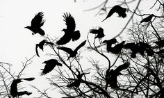 Crows: 'there is something malevolent in the way they hang on half-closed wings'. Photograph: Marko Drobnjakovic/AP