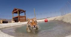 Tigers Rescued From Dirty Cage Are Ecstatic To Swim For The First Time