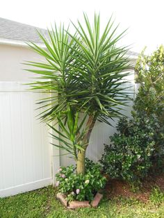 Palm and pink Lantana