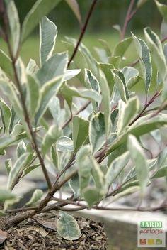 1000 id es sur le th me arbustes feuillage persistant - Comment cuisiner les feuilles de betterave rouge ...
