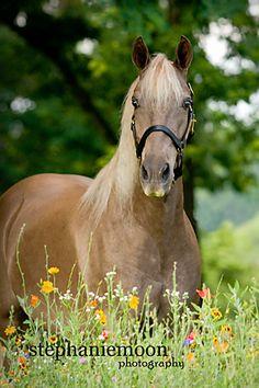 Rocky Mountain Horse, photo by www.stephaniemoonphoto.com