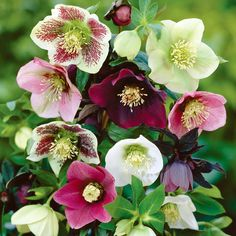 Mixed hellebore, called the Christmas Rose or Lenten Rose