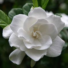 August Beauty Gardenia -4-6'H x 3-4'W 	-Fragrant pure white blossoms 2-3 inches across  	-Bloomsup to 3 months