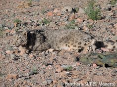 The 19th snow leopard collared through the Panthera-SLT study in Mongolia, who is estimated to be 6-8 years old!    Check back for updates on her activities & learn about Panthera's Snow Leopard Conservation Program @ http://www.panthera.org/programs/snow-leopard/snow-leopard-program
