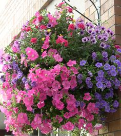 tips for petunias ...these look like the ones that hang around town in Westerville, OH