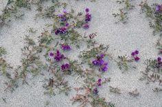 Lathyrus japonicus-beach-sea-pea-gardenista