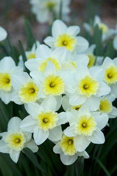 Daffodils ~ Chiot's Run