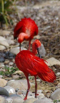 Scarlet Ibis birds - African red birds