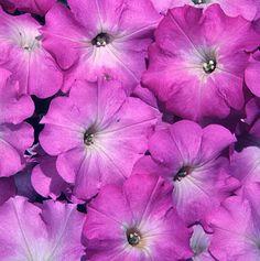 Pelleted Petunia Seeds Freedom Lilac Halo 1,000 Bulk Seeds